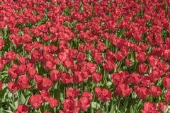 Campo con los tulipanes rojos en los Pa?ses Bajos Fondo rojo de los tulipanes fotos de archivo