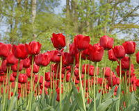 Campo con los tulipanes rojos hermosos fotos de archivo libres de regalías