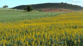 Campo con lupines amarillos Fotografía de archivo libre de regalías