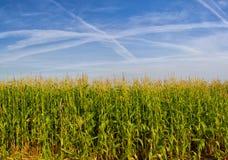 Campo con maíz Imagen de archivo libre de regalías