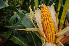 Campo con maíz maduro Fotos de archivo