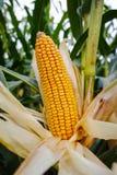 Campo con maíz maduro Foto de archivo libre de regalías