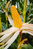 Campo con maíz maduro Imagen de archivo