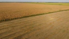 Campo con maíz maduro Tallos secos del maíz Vista del campo de maíz desde arriba La plantación del maíz, mazorcas maduras, alista metrajes