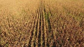 Campo con maíz maduro Tallos secos del maíz Vista del campo de maíz desde arriba La plantación del maíz, mazorcas maduras, alista almacen de metraje de vídeo