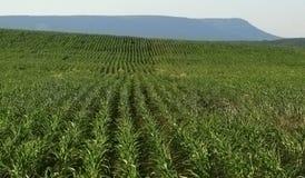 Campo con maíz joven Fotos de archivo