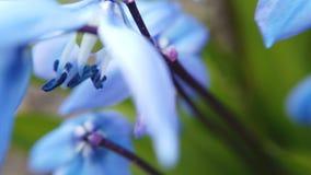 Campo con scylla azul de las flores almacen de metraje de vídeo