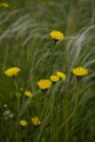 Campo con stipa pennuta ed i fiori gialli Fotografia Stock