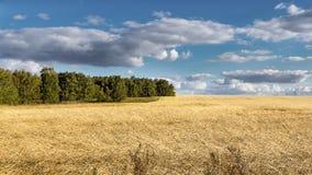 Campo con trigo maduro Fotos de archivo libres de regalías