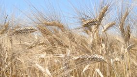 Campo con trigo maduro, con los puntos filmados de cerca almacen de metraje de vídeo