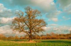 Campo con un solo albero nudo Fotografia Stock