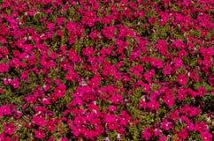 Campo cor-de-rosa imagem de stock