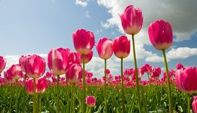 Campo cor-de-rosa do Tulip Imagem de Stock Royalty Free