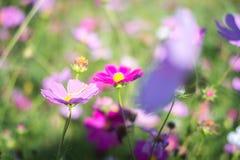 Campo cor-de-rosa e branco do cosmos, fundo do cosmos Fotografia de Stock