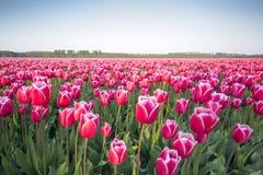 Campo cor-de-rosa III da tulipa fotografia de stock