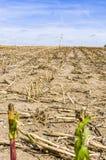 Campo cosechado del maíz, campo de rastrojo después de la cosecha con un solo fotografía de archivo