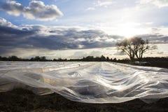Campo cultivado del espárrago Imagen de archivo