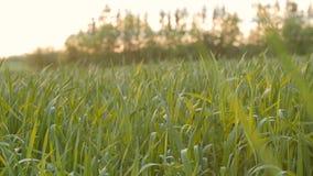 Campo cultivado del trigo verde joven por la mañana almacen de metraje de vídeo