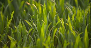 Campo cultivado del trigo verde joven por la mañana metrajes