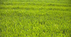Campo cultivado del trigo verde joven por la mañana almacen de video