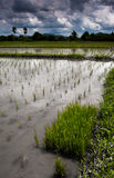 Campo cultivado do arroz em Tailândia Fotos de Stock