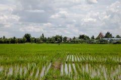 Campo cultivado do arroz em Tailândia Fotografia de Stock