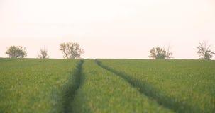 Campo cultivado do trigo verde novo na manhã vídeos de arquivo