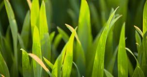 Campo cultivado do trigo verde novo na manhã video estoque