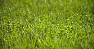 Campo cultivado do trigo verde novo na manhã filme