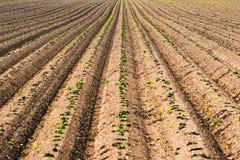 Campo cultivado, fileiras arados no teste padrão fotografia de stock
