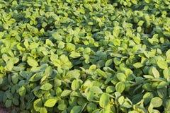 Campo cultivado verde da soja fotografia de stock