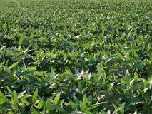 Campo cultivado verde do feijão de soja na mola atrasada imagem de stock royalty free
