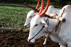 Campo d'agricoltura e d'aratura con i buoi Immagini Stock
