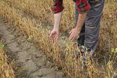 Campo d'esame delle piante di fagiolo della soia dell'agricoltore Fotografia Stock