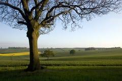 Campo da árvore de carvalho Fotos de Stock Royalty Free