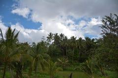 Campo da árvore de coco Fotografia de Stock Royalty Free