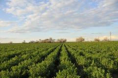 Campo da alfalfa imagens de stock