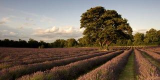 Campo da alfazema   Foto de Stock Royalty Free