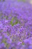 Campo da alfazema Imagem de Stock Royalty Free