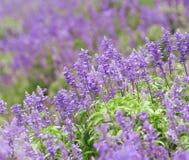 Campo da alfazema Fotografia de Stock