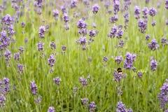 Campo da alfazema com uma abelha Imagem de Stock