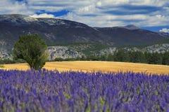 Campo da alfazema de Provence Imagem de Stock
