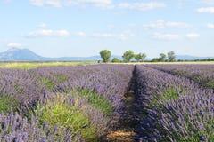 Campo da alfazema do verão em Provence, França Imagem de Stock