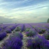 Campo da alfazema e céu da ninhada Imagem de Stock Royalty Free