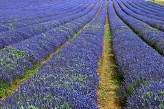 Campo da alfazema em Inglaterra fotografia de stock
