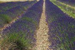 Campo da alfazema em Provence Foto de Stock