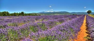 Campo da alfazema em Provence - Luberon França Imagens de Stock