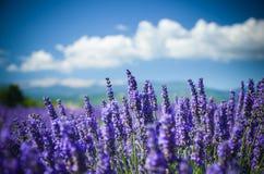 Campo da alfazema em um fundo das montanhas em Provence, França Imagens de Stock Royalty Free