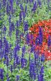 Campo da alfazema, fim acima da haste da violeta do lavdender fotografia de stock royalty free