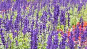 Campo da alfazema, fim acima da haste da violeta do lavdender imagens de stock